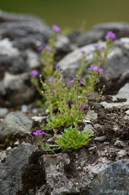 Érine des Alpes (Erinus alpinus) (Eup (31), France, le 04/06/2018)