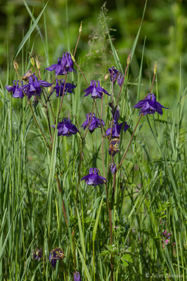 Ancolie commune (Aquilegia vulgaris) (Cauteret (31), France, le 08/06/2018)