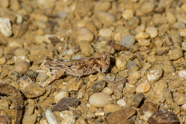Criquet marocains (Dociostaurus maroccanus) (La Peña (Andalousie), Espagne,le 03/08/2020)