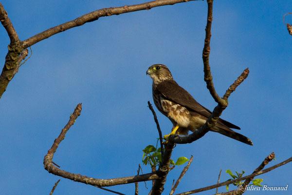 Faucon émerillon (Falco columbarius) (route de Guatémala, le 04/12/2016)
