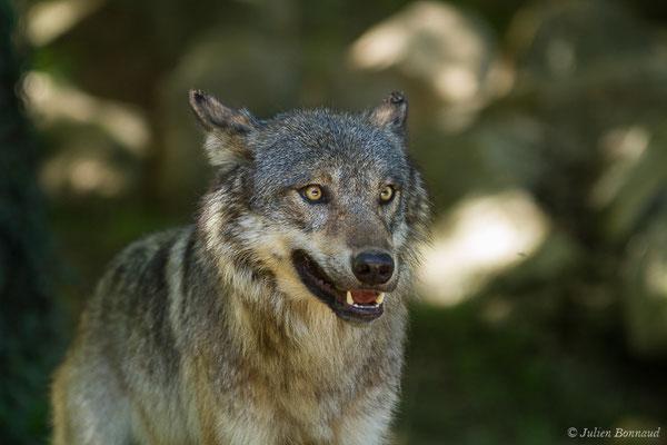 Loup gris – Canis lupus Linnaeus, 1758, (Parc animalier des Pyrénées, Argelès-Gazost (65), France, le 19/07/2020)