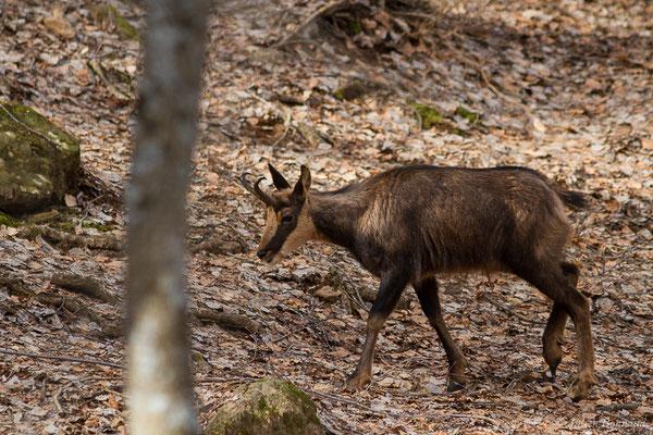 Isard – Rupicapra pyrenaica (Hermann, 1780), (Parc faunistique Lacuniacha, Huesca, Espagne, le 09/02/2020)