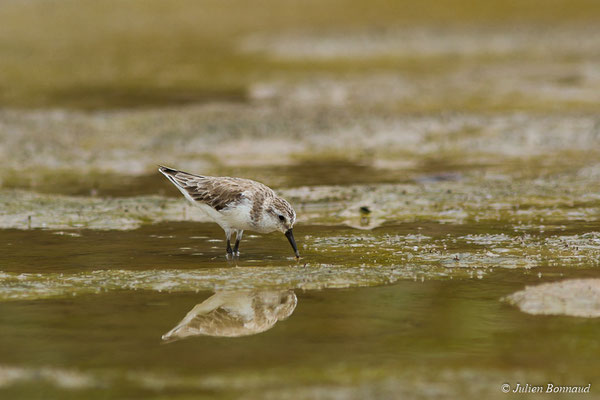 Bécasseau semipalmé (Calidris pusilla) (adulte, plumage internuptial) (Route des plages, Remire-Montjoly, le 29/03/2017)