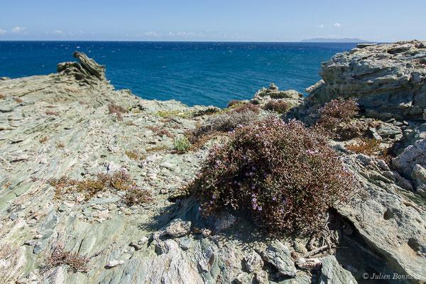 Limonium (Limonium contortirameum) (Sentier des douanier, Rogliano (2B), France, le 09/09/2019)