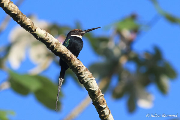 Jacamar à longue queue (Galbula dea) (adulte) (Petit-Saut, le 07/07/2016)