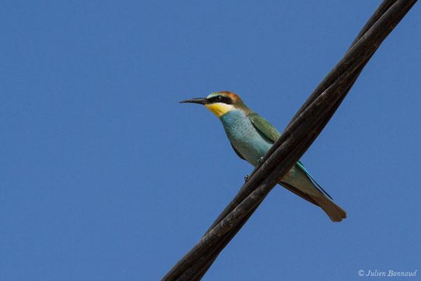 Guêpier d'Europe (Merops apiaster) (juvénile) (Vila do Bispo (Algarve), Portugal, le 31/08/2018)