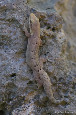 Gecko demi-deuil (Lepidodactylus lugubris) (Saint-Anne, le 21/05/2016)