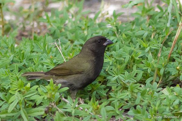 Sporophile cici ou Cici verdinère (Tiaris bicolor) (mâle)