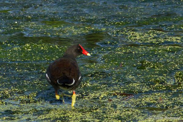 Gallinule d'Amérique (Gallinula galeata) (adulte) (lac Marie-Claire, Kourou, le 04/12/2016)