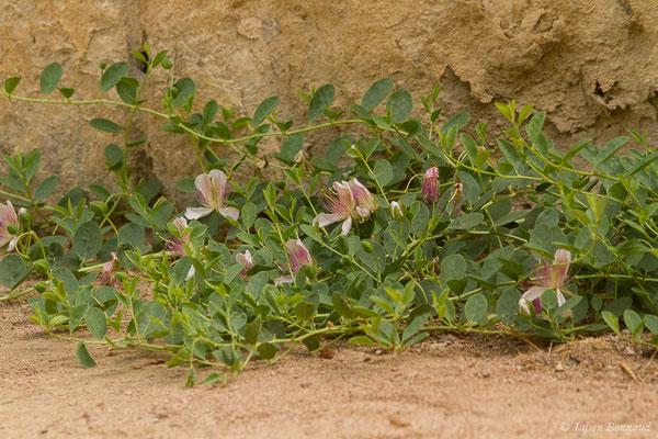 Câprier épineux (Capparis spinosa) (Cordou (Andalousie), Espagne, le 09/08/2020)