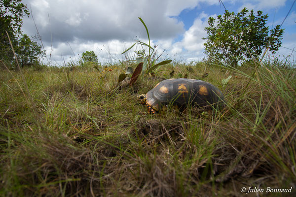 Tortue charbonnière (Chelonoidis carbonaria) (mâle adulte) (Centre Spatial Guyanais, Kourou, Guyane, le 17/02/2017)