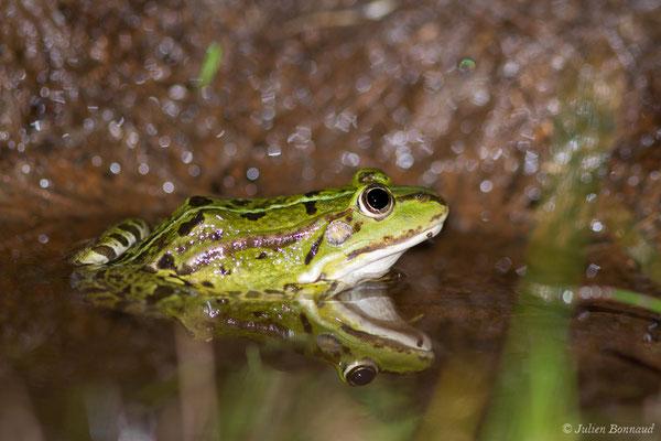 Grenouille verte ou Grenouille commune – Pelophylax kl. esculentus (Linnaeus, 1758), (Mézières-en-Brenne (36), France, le 17/06/2021)