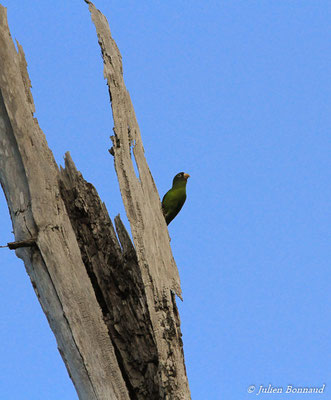 Toui para (Brotogeris chrysoptera) (adulte) (Petit-Saut, le 09/11/2015)