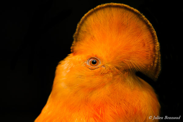Coq-de-roche orange (Rupicola rupicola) (mâle adulte) (Zoo de Guyane, le 30/07/2016)