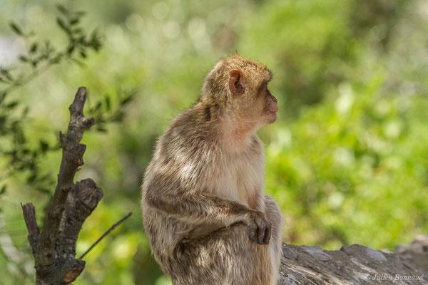 Magot, Macaque berbère, Macaque de Barbarie – Macaca sylvanus (Linnaeus, 1758), (Tarifa (Andalousie), Espagne, le 02/08/2020)