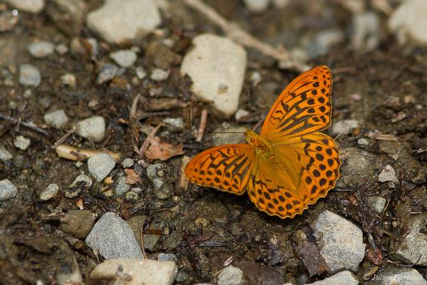 Tabac d'Espagne (Argynnis paphia) (lac d'Ayous, Laruns (64), France, le 13/07/2019)
