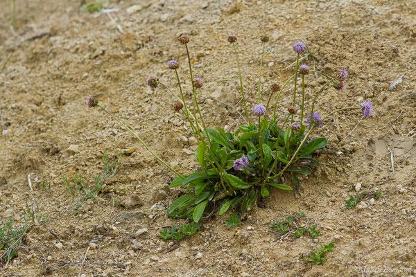Globulaire à tiges nues (Globularia nudicaulis) (Aulon (31), France, le 03/05/2019)