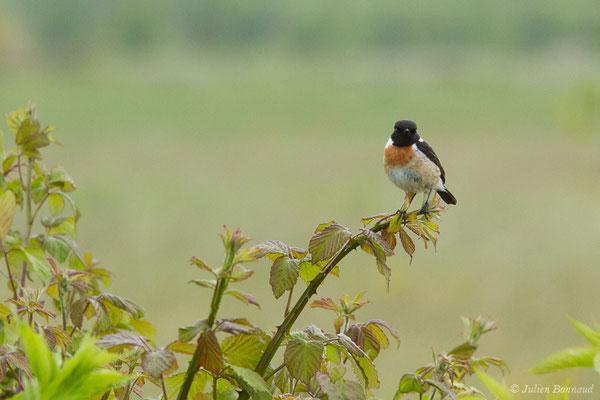 Tarier pâtre (Saxicola rubicola) (mâle adulte) (Braud-et-Saint-Louis (33), France, le 09/05/2019)