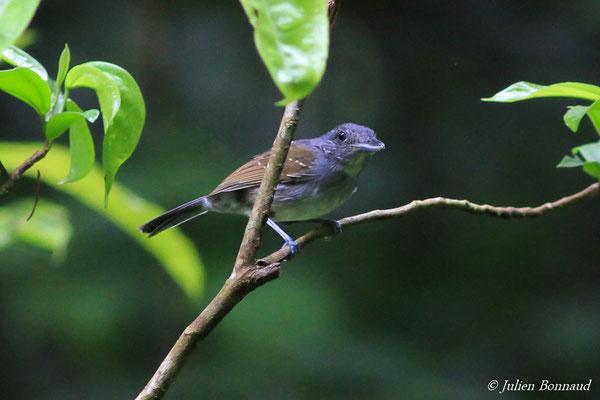Batara souris (Thamnophilus murinus)