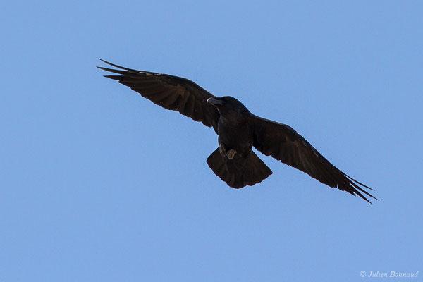 Grand Corbeau (Corvus corax) (adulte) (L'Île-Rousse (2B), France, le 14/09/2019)