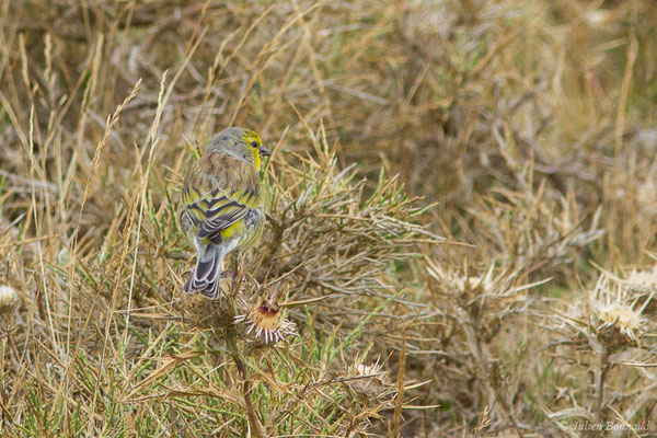 Venturon corse (Carduelis corsicana) (plateau du Coscione, Aullène (2B), France, le 07/09/2019)
