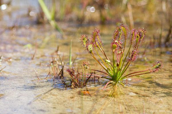 Drosera intermedia (Rossolis intermédiaire) (Pontonx-sur-l'Adour (40), France, le 25/05/2020)