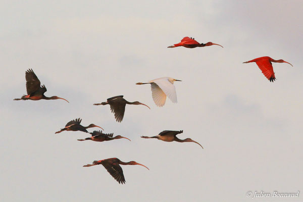 Ibis rouge (Eudocimus ruber) (adultes et immatures) et Aigrette neigeuse (Egretta thula) (adulte) (Pont du Larivot, Matoury, le 08/01/2016)