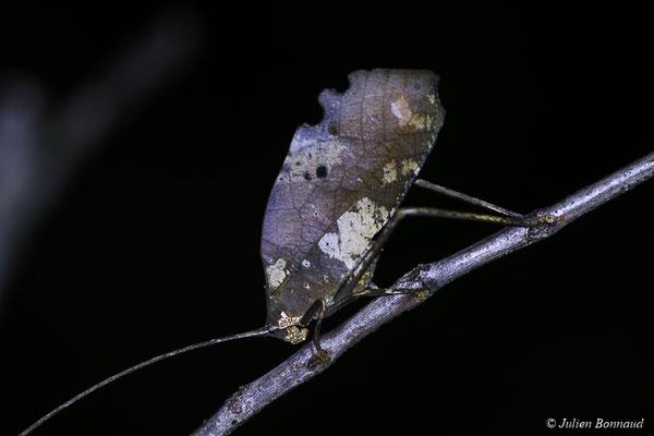 Pterochroza ocellata (mine d'or Espérance, Apatou, le 05/04/2017)