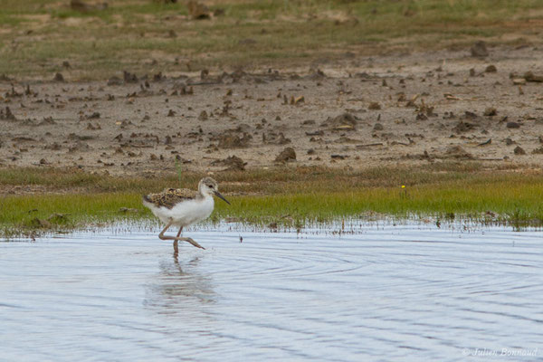 Échasse blanche (Himantopus himantopus) (juvénile) (réserve ornithologique Terre d'oiseaux, Braud-et-Saint-Louis (33), France, le 20/06/2018)
