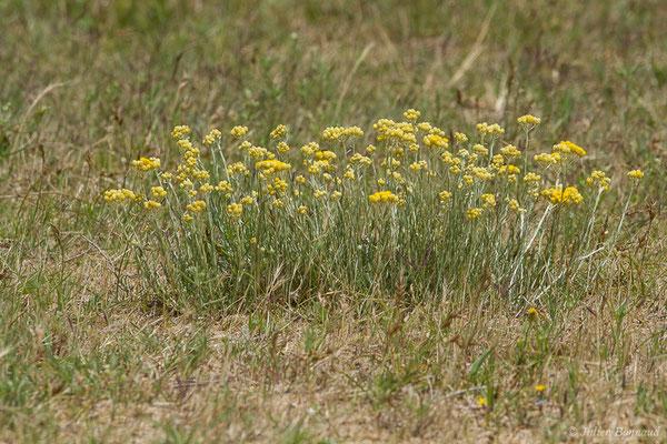 Immortelle des dunes (Helichrysum stoechas) (Boucau (64), France, le 23/06/2019)