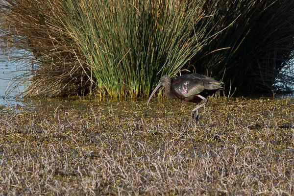 Ibis falcinelle – Plegadis falcinellus (Linnaeus, 1766), (Marais du Vigueirat (13), France, le 18/02/2020)