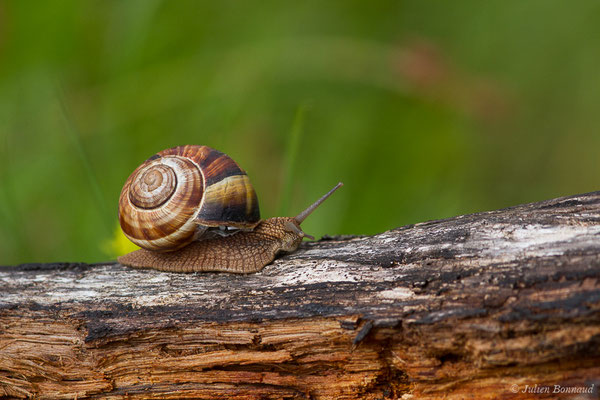 Escargot turc (Helix lucorum) (Gan (64), France, le 10/04/2019)
