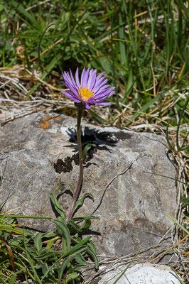 Aster des Alpes (Aster alpinus) (Col du Pourtalet, Laruns (64), France, le 06/07/2019)