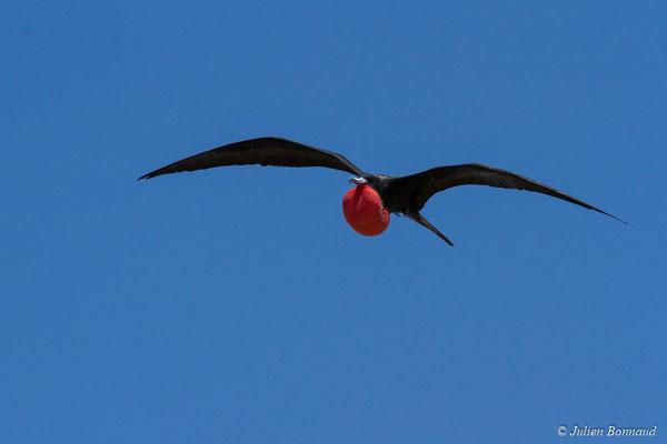 Frégate superbe (Fregata magnificens) (mâle adulte) (Île du Grand Connétable, le 09/08/2017)