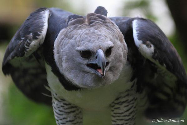 Harpie féroce (Harpia harpyja) (Zoo de Guyane, Montsinéry)