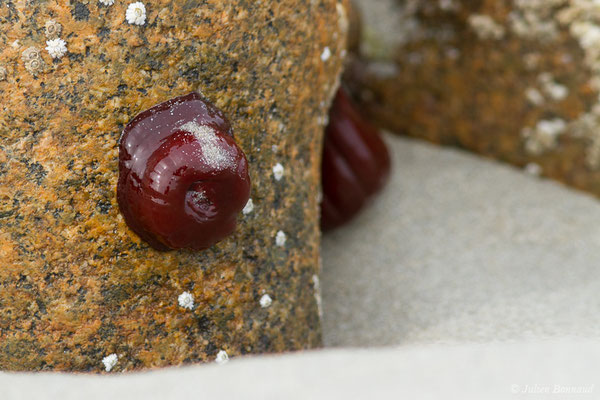 Actinie rouge – Actinia equina (Linnaeus, 1758), (Locmariaquer (56), France, le 05/07/2021)