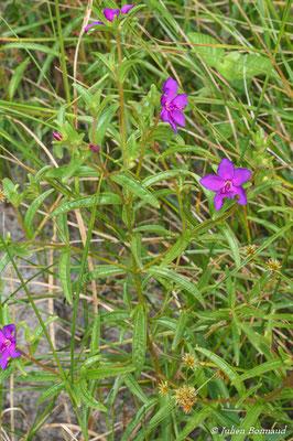 Rhynchanthera serrulata (Centre Spatial Guyanais, Kourou, le 12/05/2014)