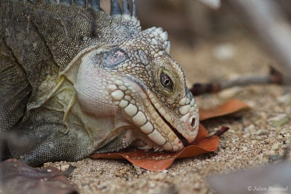 IgIguane des Petites Antilles (Iguana delicatissima) (Petite Terre, le 26/05/2016)