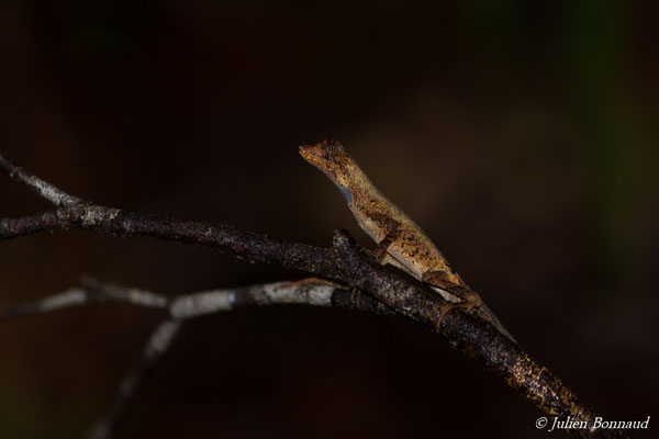 Anolis chrisolepide (Norops nitens chrysolepis) (mâle adulte) (Saint-Pierre, Saint-Laurent-du-Maroni, le 29/01/2017)