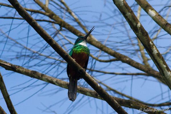 Jacamar vert (Galbula galbula) (mâle adulte) (Iracoubo, le 12-07-2016)