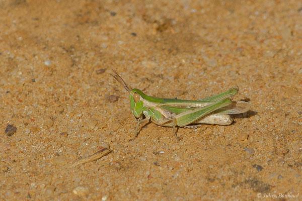 Criquet des dunes (Calephorus compressicornis) (La Peña (Andalousie), Espagne,le 03/08/2020)