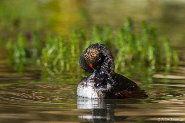 Grèbe à cou noir (Podiceps nigricollis) (adulte en plumage nuptial) (parc animalier des Pyrénées, France, le 01/04/2018)