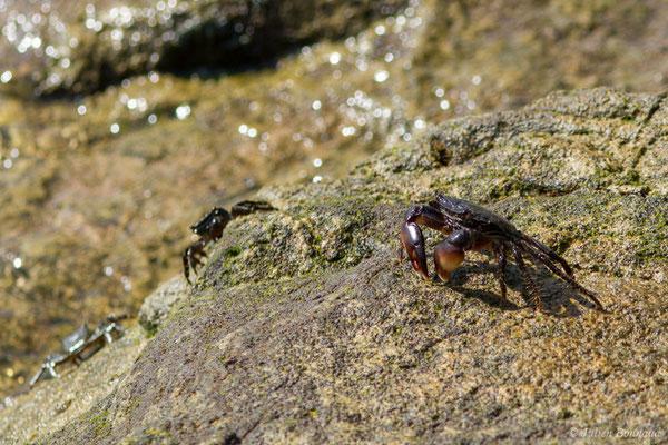 Crabe marbré (Pachygrapsus marmoratus) (Sagres (Vila do Bispo), (Algarve), Portugal, le 31/08/2018)