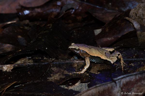 Hamptophryne de Guyane (Hamptophryne boliviana) (mine d'or Espérance, Apatou, le 10/04/2017)