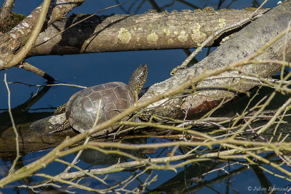 Cistude d'Europe – Emys orbicularis (Linnaeus, 1758), (Lac d'Orthez (64), le 16/03/2019)