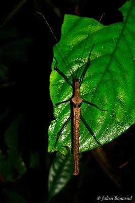 (Pseudophasma phthisica) (femelle) (Rorota, Remire-Montjoly, le 13/07/2015)