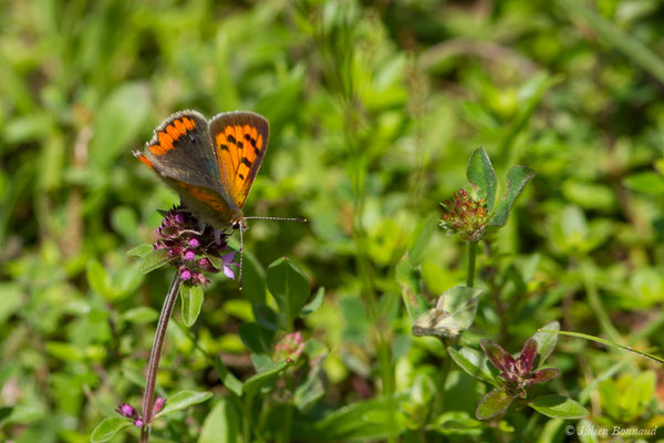 Cuivré commun (Lycaena phlaeas) (Cauteret (65), France, le 08/06/2018)
