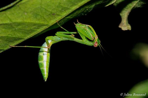 Microphotina sp. (jeune femelle) (Sentier Vidal, le 18/08/2015) (identification incertaine)