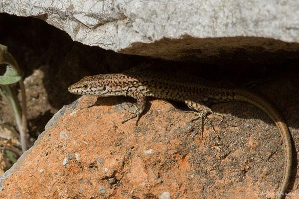 Lézard de Vaucher (Podarcis vaucheri) (Ile des Palomas, Tarifa (Andalousie), Espagne, le 03/08/2020)