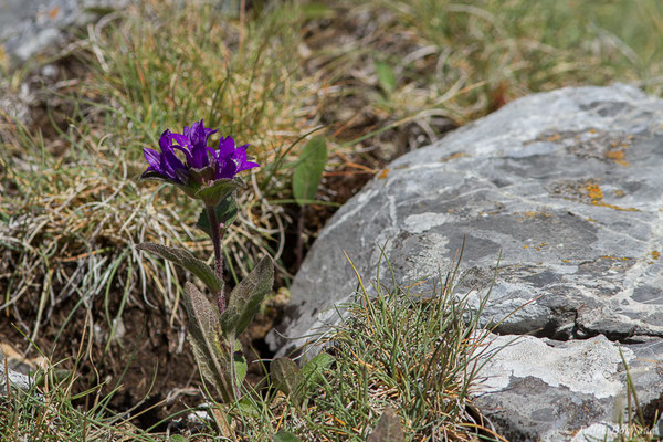 Campanule agglomérée (Campanula glomerata) (Col du Pourtalet, Laruns (64), France, le 06/07/2019)